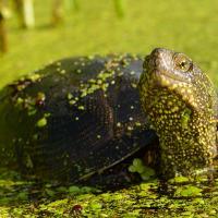 «Без целенаправленной помощи человека этот вид исчезнет». Ученый призывает спасать болотных черепах