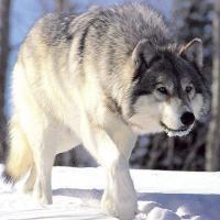 В Беловежской пуще охотятся на волка во время действия моратория на его отстрел