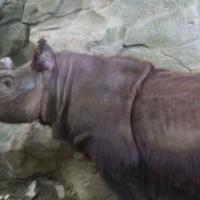 Носорог-одиночка по кличке Харапан отправился искать невесту