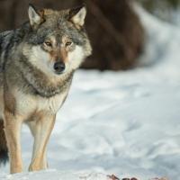 Разрешение на отстрел волков: польза или вред?