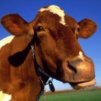 Коровы влияют на климат: как орегано уменьшит их экослед?
