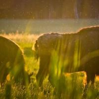 Зубры в Беловежской пуще: убивает ли охота популяцию? (+видео)