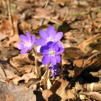 Первоцветы в дикой природе: кто «просыпается» раньше всех?
