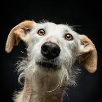Собаки и спасительные фото. Как американский фотограф спасает испанских охотничьих борзых от смерти