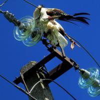 Фотофакт: В Несвижском районе на линиях электропередач погибают аисты