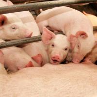 Свинокомплексы возле Молодечно всё-таки построят (ОБНОВЛЕНО)