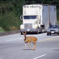 Преподаватель курсов контраварийного вождения: Перед животным на дороге лучше тормозить, а не маневрировать