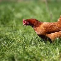 Яйца свободного выгула. Новая мировая тенденция улучшит условия содержания кур-несушек
