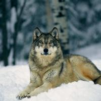 Не так страшен волк, как его малюют