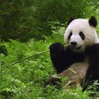 Опасность сохраняется: большие панды больше не вымирающий вид