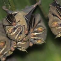 Невидимые соседи: летучие мыши повсюду, но мы их не замечаем