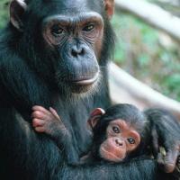Как торгуют детёнышами шимпанзе: журналисты раскрыли тайную сеть контрабандистов