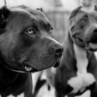Будущих хозяев потенциально опасных пород собак заставят пройти спецкурсы