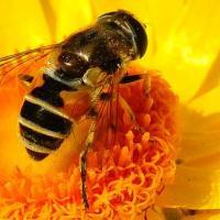 Голландские пчёлы за полтора века уменьшились в размерах