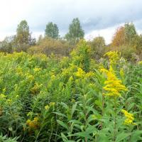В чёрном списке: борщевик, золотарник и другие растения-интродуценты запретили выращивать и акклиматизировать в Беларуси