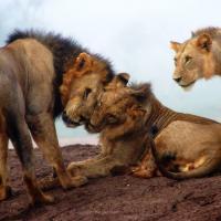 Беспредельное счастье: цирковой лев Уилл радуется обретённой свободе