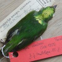 В Амазонии впервые нашли гибридный вид птиц