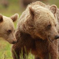 Медведицы стали проводить больше времени с детьми из-за охотников