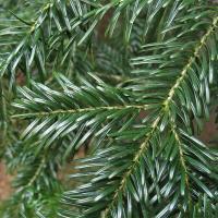 Лесхозы предлагают альтернативу новогодней ёлке — в продаже появилась пихта Нордмана
