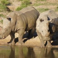 Спасительная миссия «Носороги без границ» стартовала в Южной Африке