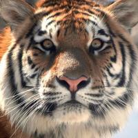 Успех экологов Китая и России: амурских тигров стало больше