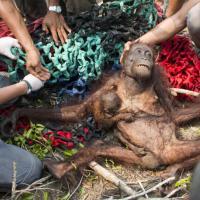 Редких обезьян жители Индонезии пытались закидать камнями