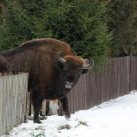 Беловежские зубры гуляют по деревням в поисках еды