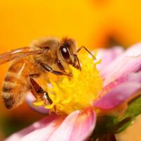 Во Франции будут спасать пчёл от пестицидов