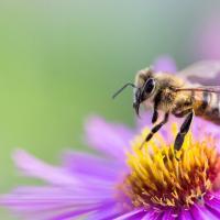 Голод неизбежен, или Что будет, когда исчезнут медоносные пчёлы?