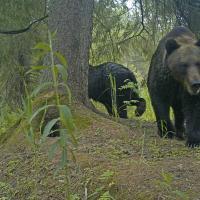 Почему бурые медведи из России пришли к нам в гости? И нужно ли с этим что-то делать