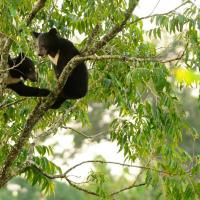 Как медведи помогают деревьям перемещаться за климатом