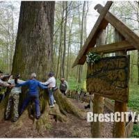 Самый старый дуб Беларуси клонируют