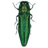 Биологи предупредили о вторжении в Беларусь чужеродного жука-вредителя