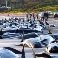 Возле Новой Зеландии дельфины-гринд массово выбросились на берег