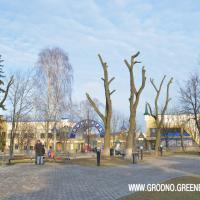 Фотофакт: как в Гродно обрезают деревья