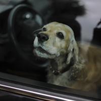 На стоянке возле магазина «Простор» в закрытом автомобиле умерла собака