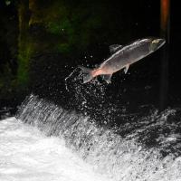 Канадские экологи заявили о снижении численности тихоокеанского лосося