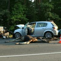 Переходы на дорогах для животных спасут и людей