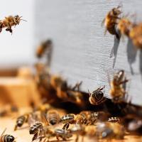 Ученые нашли новый способ восстановить популяцию пчел
