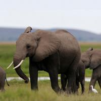 Китай запрещает добычу и продажу слоновьей кости