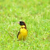 Китайцы могут в буквальном смысле съесть всех певчих птиц