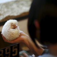 Колючее «развлечение»: в Японии открыли кафе с ёжиками (фото)