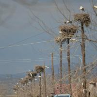 Электрики разрушают гнёзда аистов на столбах ЛЭП. Системного решения проблемы нет и, кажется, не предвидится