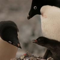 Тысячы малых пінгвінаў памерлі у Антарктыдзе ад голаду