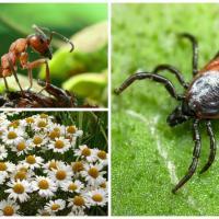 Муравьи и ромашка против клещей: боремся экологическими способами