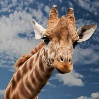 Бесшумное вымирание: жирафы попали под удар