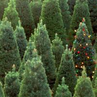 В лесу – родилась, в городе – умерла. Новогодняя ёлка как ежегодная боль экологов