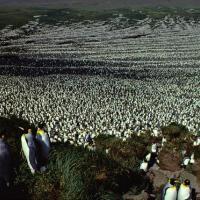 Крупнейшая в мире колония королевских пингвинов сократилась на 90%