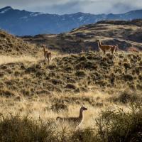 Львы в Патагонии, леса в Шотландии и волки в Германии. Как учёные и активисты восстанавливают дикую природу по всему миру