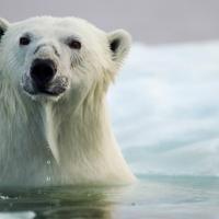 Белые медведи могут исчезнуть быстрее, чем мы опасались